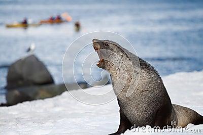 Warczenie futerkowa foka