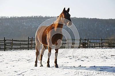 Warm Blood Bay Horse Standing In Winter Corral Rural Scene