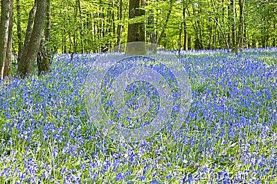 Warm golden light in Spring bluebell woods
