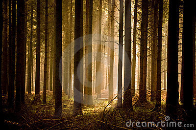 Warm Sunbeams Through A Forest