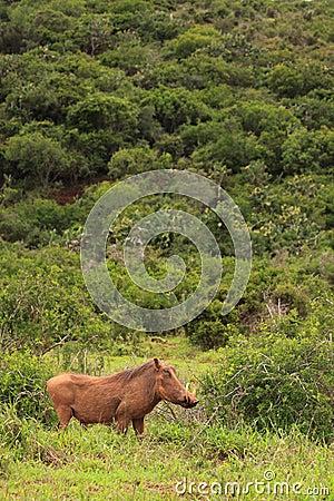 Warthog άγρια περιοχές