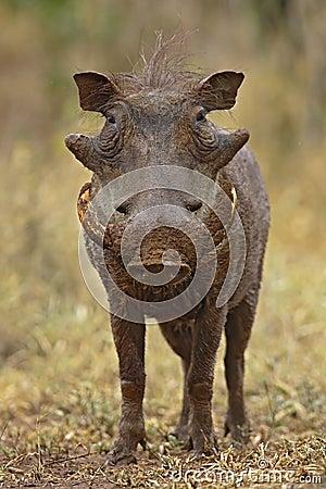 Free Warthog Stock Photography - 2002732