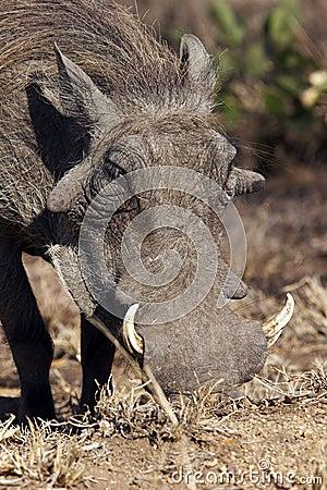 Free Warthog Royalty Free Stock Image - 4435126