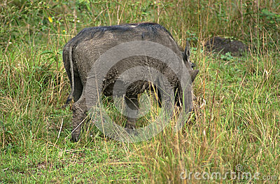 Warthog in Africa