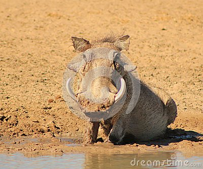 Warthog - African mud therapy