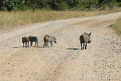 Warthog and babies