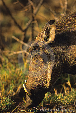 Warthog Close Up