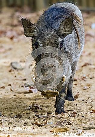 Warthog or Common Warthog, Phacochoerus africanus