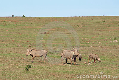 Warthog family in the wild