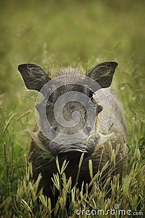 Warthog in green field
