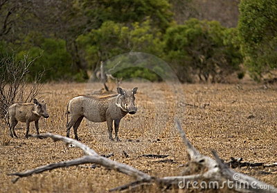 Warthog and little one