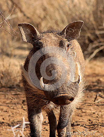 Warthog Male Close-up