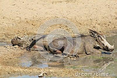 Warthog - Natural Pest Control