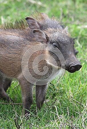 Free Warthog Piglet Royalty Free Stock Image - 17627626