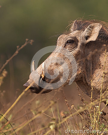 Free Warthog Portrait Stock Photography - 25090922