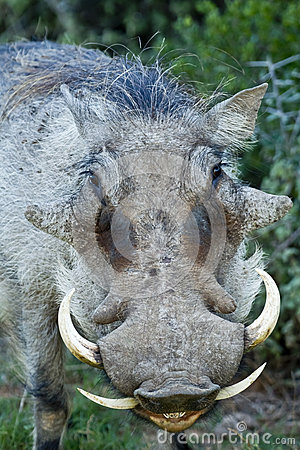 Free Warthog Portrait Stock Photography - 31063762