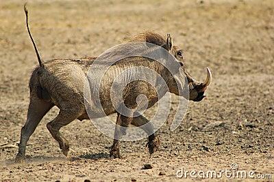 Warthog - Running Hog