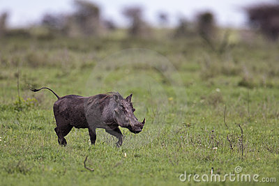 Warthog walking on the savannah
