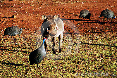 Warthog withGuinea Fowl