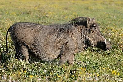 Warthog and Yellow Flowers