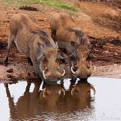 Free Warthogs In Addo Safari Park, South Africa Royalty Free Stock Photography - 13368247