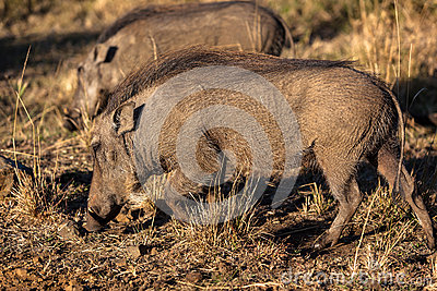 Warthogs Wildlife Animals