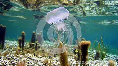 Warty jellyfish near water surface