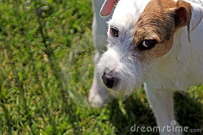 Wary Jack Russell