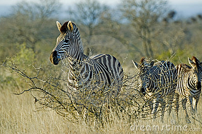 Wary Zebra