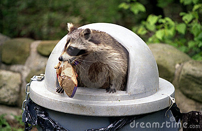 Waschbär, der Abfalleimer überfällt.