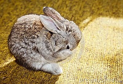 Washing baby rabbit
