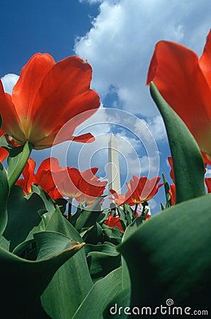Washington Monument with Tulips