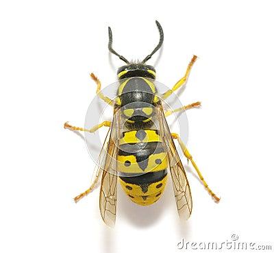 Free Wasp Stock Photo - 15184490