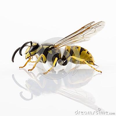Free Wasp Royalty Free Stock Photos - 26786078