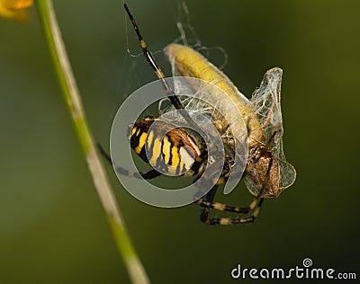 Wasp, Argiope bruennichi