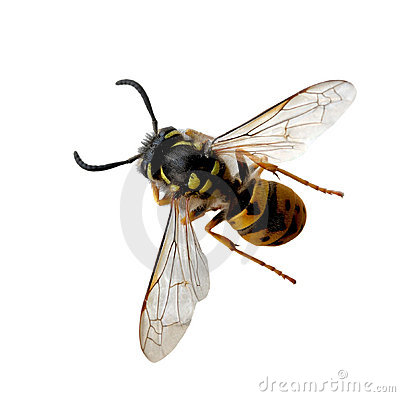 Free Wasp Bee Stock Photography - 6441052