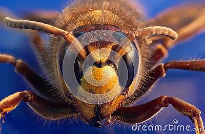Wasp  on blue background
