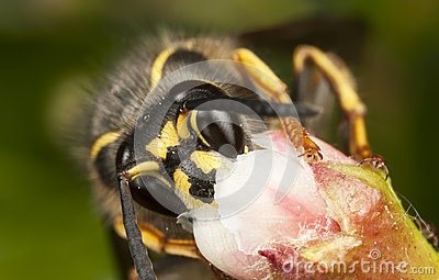 Wasp collecting honey