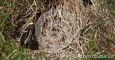 Wasp comune, vespula vulgaris, Adulto in volo, Adulti che volano sopra il nido della Terra, Normandia in Francia, Slow Motion stock footage