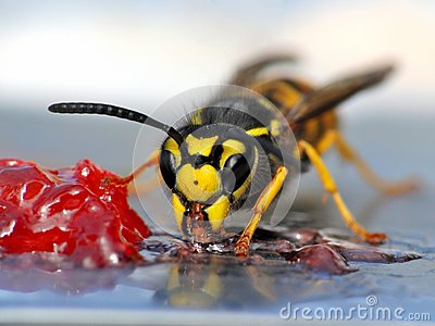 Wasp eating jelly