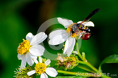 WASP ON FLOWER WITH A RED SAC ON TAIL Stock Photo