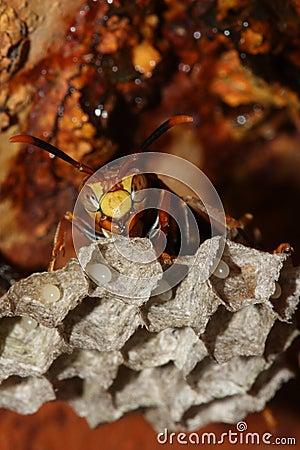 Wasp at hive