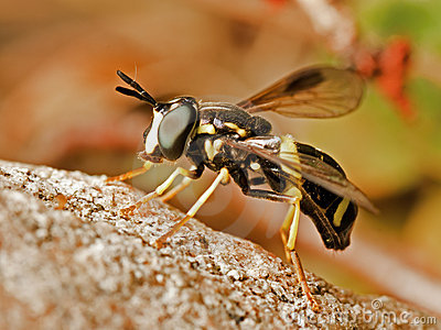Wasp-like Hoverfly
