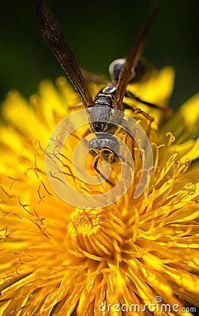 Wasp Macro Eye Detail