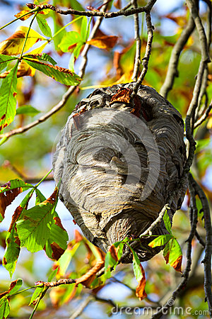 Free Wasp Nest Royalty Free Stock Photography - 45046937