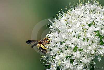 Wasp And Onion Flower
