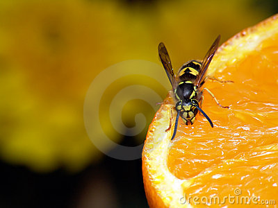 Wasp on orange