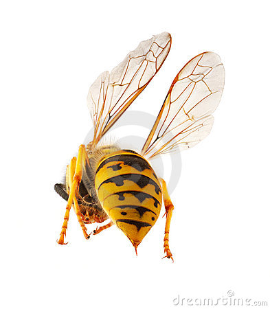 Free Wasp Presenting It S Threatening Stinger Royalty Free Stock Photography - 21367807