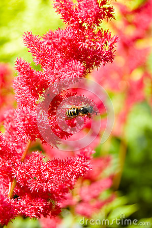Wasp on red astilbe flower Stock Photo