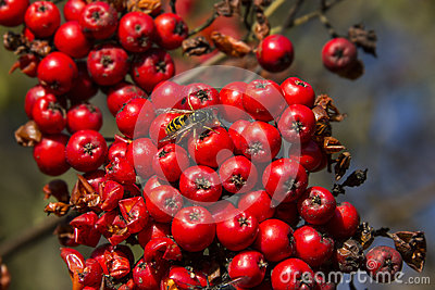 Wasp on Red Berries